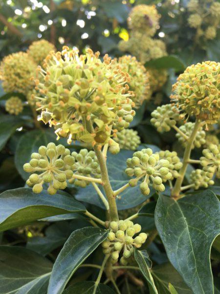 …herrlich blüht Hedera helix `Arborescens` und herrlich summen die Bienen!